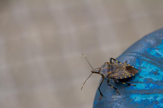 カメムシと蚊取り線香